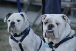 Two Citadel bulldogs