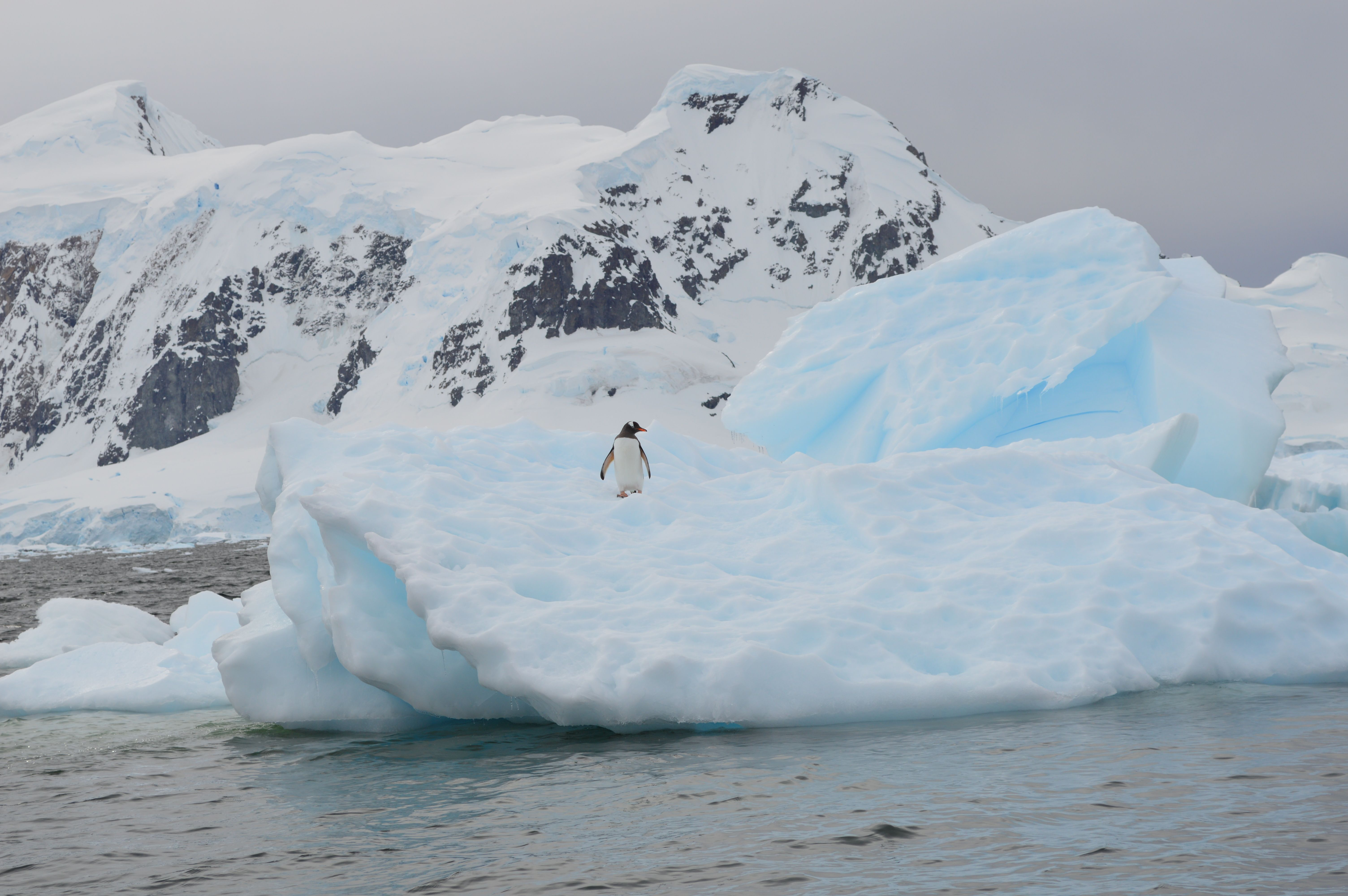 Gentoo Penguin on Antarctica iceberg, The Citadel