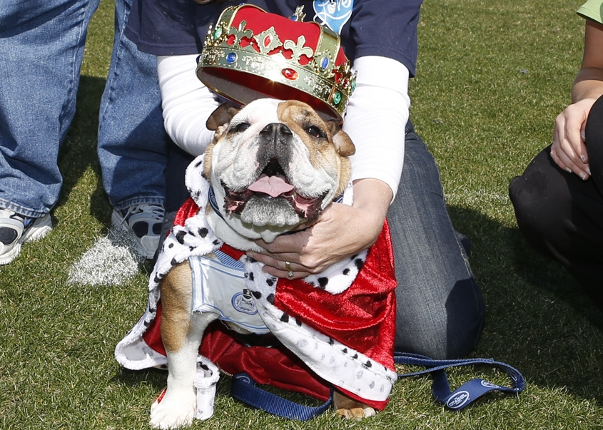 Beautiful Bulldog Contest at The Citadel